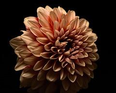 Pink Mum in the Dark 0827 (Tjerger) Tags: nature flower bloom blooming plant natural flora floral blackbackground portrait beautiful beauty black wisconsin macro closeup single pink summer mum dark