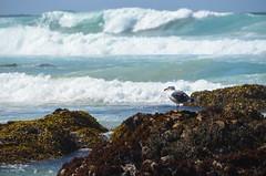 DSC_0895 (afagen) Tags: california pacificgrove montereypeninsula asilomar beach pacificocean ocean asilomarstatemarinereserve bird