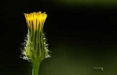 serie pimpollos (Marina-Inamar) Tags: flor pimpollo amarillo argentina buenosaires pereyrairaola fondonegro challengegamewinner naturaleza game challengegroupgame
