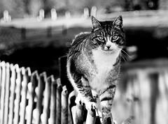 A well balanced cat (Zèè) Tags: cat chat cats feline fence tabby sparkey black bw white noirblanc noir blanc monochrome nature blackandwhite