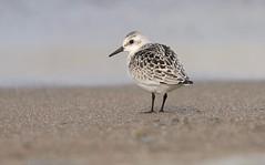 The Traveller (Slow Turning) Tags: calidrisalba sanderling shorebird beach sand water lake shore forage foraging autumn fall southernontario canada migrant migrating migrate latesummer migration