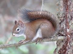 American Red Squirrel (Tamiasciurus hudsonicus) (bencbright) Tags: americanredsquirrel squirrel idaho latah sx60 canonsx60