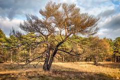 Bergvennen_Niederlande_IMG_1452 (milanpaul) Tags: 2018 baum bergvennen brand dezember grenze grenzregion kiefer landscape landschaft lattropbreklenkamp nsg natur naturschutzgebiet niederlande