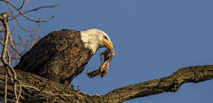 Breakfast is served..... (Kevin Povenz Thanks for all the views and comments) Tags: 2016 february kevinpovenz westmichigan michigan ottawa ottawacounty ottawacountyparks grandravinesnorth baldeagle early eagle earlymorning bluesky lunch breakfast dinner snack nature wildlife outside outdoors canon7dmarkii sigma150500 bird birdsofprey