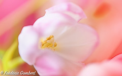 Pink Derivation (frederic.gombert) Tags: flower flowers color tulip plant pink white colors bloom blossom bunch macro nikon