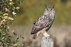 Eurasian Eagle-owl - Bubo bubo (Roger Wasley) Tags: eurasian eagle owl bubobubo owls birdofprey bird european