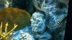 moray_eel_wp_20140918_cinemagraph (petamini_pix) Tags: lumia nokia 1020 lumia1020 cameraphone windowsphone cinemagraph gif animated animation animatedgif motion morayeel coral underwater animal