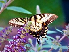 Monarch (thomasgorman1) Tags: canon insect butterfly rural nature garden colors closeup pennsylvania