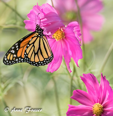 Summer dreams (Anne Marie Fraser) Tags: macro flower butterfly summer summerdreams garden monarch monarchbutterfly pretty beautiful flowers pink nature insect