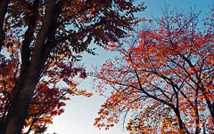 Leaves (odeleapple) Tags: leica m3 carl zeiss planar 50mm kodakultramax400 film colored leaf tree sky autumn