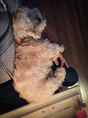 Rusty is a work-from-home lapdog. (PEEJ0E) Tags: rusty maltese sleeping snuggles cuddling work working desk rescue relaxed mutt pooch