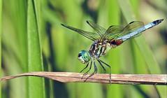 Dragonfly - Libellule (P9_DSCN9477-1PE-20180816) (Michel Sansfacon) Tags: dragonfly libellule nikoncoolpixp900 parcnationaldesîlesdeboucherville parcsquébec faune