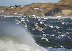 Seagulls (Jaedde & Sis) Tags: måger seagulls many hanstholm coast sea splash wave sweep storybookwinner challengeyouwinner 15challengeswinner