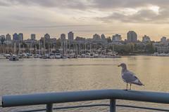 Beautiful Vancouver (aaronrhawkins) Tags: vancouver britishcolumbia canada harbor skyline marina seagull railing water ocean sunset golden light dusk walk waterfront vista boats sailboats aaronhawkins