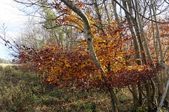 Autumn beech tree by the South Downs Way 2 (Leimenide) Tags: south downs way autumn beech leaves west sussex