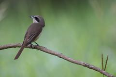 Brown Shrike (MEphotog) Tags: brown shrike wild birds singapore bidadari migratory
