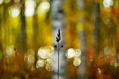 Woods walk (Stefano Rugolo) Tags: stefanorugolo pentax k5 pentaxk5 m42 helios44258mmf2 helios442 helios ricohimaging autumncolors autumn bokeh walk woods wood forest tree grass depthoffield birch hälsingland sweden sverige