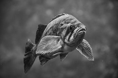 Fish (Eric Bloecher) Tags: рыба fish aquarium monterey bay california water blackwhite blackwhitephotos blackandwhite black white bw