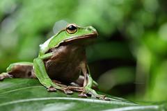 2J4A8077 (ajstone2548) Tags: 12月 樹蛙科 兩棲類 翡翠樹蛙