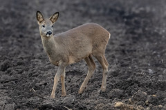roe deer (colin 1957) Tags: roedeer deer