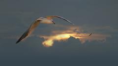 Sunset (Dragan*) Tags: seagull bird animal flying wing sky sunlight sunset nature outdoor cloud