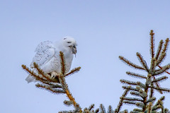 Lunch (Peter Stahl Photography) Tags: snowowl snowy winter voles
