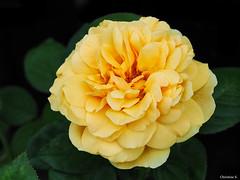yellow rose (Christine_S.) Tags: flower olympus japan garden yellow outdoor nature macro omd em10markiii bright