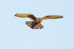 K32P1699a Kestrel, Burwell Fen, November 2018 (bobchappell55) Tags: burwellfen kestrel cambridgeshire falcotinnunculus bird wild nature wildlife birdofprey nationaltrust hovering