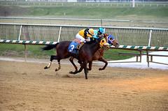 "2018-11-30 (49) r9 Trevor McCarthy on #3 Tri Poker for the win (JLeeFleenor) Tags: photos photography md marylandhorseracing maryland marylandracing laurelpark jockey جُوكِي ""赛马骑师"" jinete ""競馬騎手"" dżokej jocheu คนขี่ม้าแข่ง jóquei žokej kilparatsastaja rennreiter fantino ""경마 기수"" жокей jokey người horses thoroughbreds equine equestrian cheval cavalo cavallo cavall caballo pferd paard perd hevonen hest hestur cal kon konj beygir capall ceffyl cuddy yarraman faras alogo soos kuda uma pfeerd koin حصان кон 马 häst άλογο סוס घोड़ा 馬 koń лошадь outdoors outside"