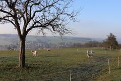 Auf dem Land (julia_HalleFotoFan) Tags: thüringen wartburgkreis bischofroda schafe landschaft winter