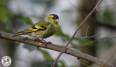 Siskin - Spinus spinus (Lauren Tucker Photography) Tags: bird blashfordlakes hampshire nature siskin wildlife spinus uk south west england canon slr camera markii 7d 100400mm copyright ©laurentuckerphotography photography photographer photograph photo image pic picture allrightsreserved 2018 winter spring colour november wild mammal