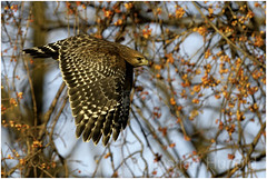 red-shouldered hawk (Christian Hunold) Tags: redshoulderedhawk buteojamaicensis rotschulterbussard raptor johnheinznwr philadelphia christianhunold