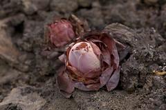 Aeonium dodrantale (Greenovia dodrantalis) ? (atardecer2018) Tags: elhierro endemismo plant canarias aeonium