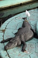 DSC6860 (Starcadet) Tags: orlando alligator krokodil gator gatorland florida glades sumpf zoo hunger tiere fressen nilkrokodil aufzuchtstation