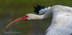 Ibis Close-up (~ Bob ~) Tags: louisiana cameronprarie nikon flight bird ibis feisol d500 300mmf4 blueeye