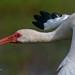 Ibis Close-up