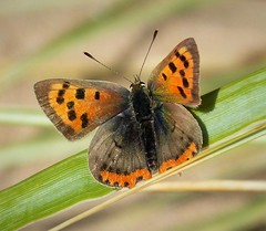 Small Copper. Lycaena phlaeas (gailhampshire) Tags: small copper lycaena phlaeas