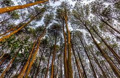 Pinus Pengger Forest in Yogyakarta, Indonesia