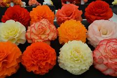 Begonias (Seventh Heaven Photography **) Tags: 130th shrewsbury flower show shropshire nikon d3200 flowers blooms flora begonias pink red orange white