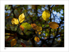 Hanging On (Clicker_J) Tags: autumn colour colours forest foliage highlight light lighting leaves naturallight nikon reflective shapes shadows sunlight sunshine texture trees tree yellow