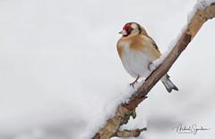 Þistilfinka - european-goldfinch - Carduelis carduelis (Mikael Sigurðsson) Tags: þistilfinka goldfinch nikon nikkor nature photography wildlife bird birding iceland snow winter d500 200500 manfrotto finch birds snowy
