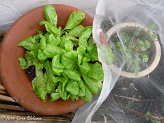January 2nd, 2019 Last of the late sown lettuces (karenblakeman) Tags: cavershamgarden caversham uk lettuce saladleaves food pot 2019 2019pad january reading berkshire enviromesh