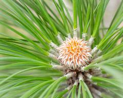 Pino (inma F) Tags: verde pino canarias arbol macro nature hoja pine tree green