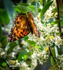 Gravity Bender (Portraying Life, LLC) Tags: ricoh pentax k3 closecrop nativelighting michigan usa da3004 hd14tc flower butterfly