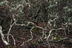 manzanita (gwashley) Tags: california sanmateo pulgasridge manzanita