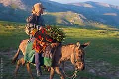 Rider with tulips (yuriye) Tags: yuriye zarafshan mountain samarkand man tulip flower spring uzbek uzbekistan keeper bouquet цветы тюльпаны узбекистан зарафшан горы узбек весна outdoor laleli lola lâle ишак осел ishak yuryelysee mountaine mountainside sunset evening green осёл donkey eshak самарканд shakhrisabz qashqadaryo