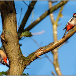 Greater Spotted Woodpecker pair (Dendrocopos major) thumbnail