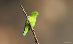 Vernal hanging parrot (arunprasad.shots) Tags: ngc explore parrot nilgiris nikon perch green birding nature