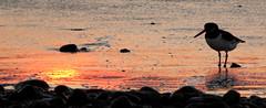 Sunset oystercatcher (Sue Wolfe) Tags: wales cymru meirionnydd ceredigion westwales nature autumn welshwildlifebreaks welshcoast coast birds birdwatching sea seashore sunset abertrinant tywyn wildlife