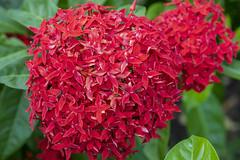Flor (2) (José M. Arboleda) Tags: planta vegetal rojo flor hoja girardot colombia canon eos 5d markiv ef24105mmf4lisusm josémarboledac